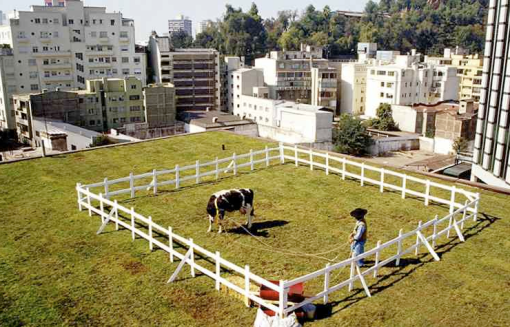 The Cow, 2005